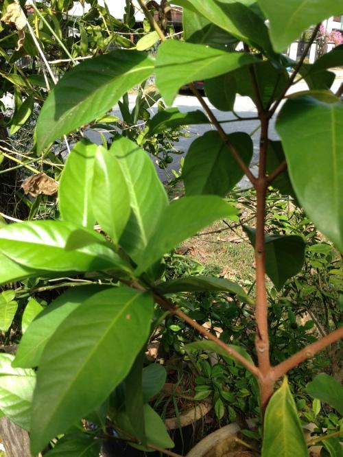 Pokok Salam