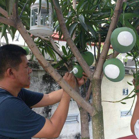 Pengundi cina sedang mengecat warna putih di buah mangga di luar rumahnya menandakan sokongan pada PAS di Kepala Batas